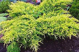 Ялівець середній Old Gold 3 річний, Ялівець середній Олд Голд, Juniperus media / pfitzeriana Old Gold, фото 3