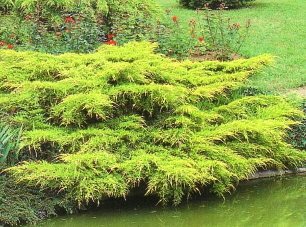 Ялівець середній Pfitzeriana Aurea 3 річний, Можжевельник средний Пфитцериана Ауреа, Juniperus media
