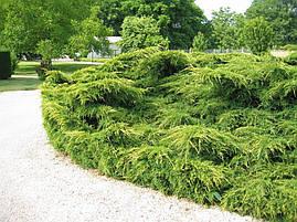 Ялівець середній Pfitzeriana Aurea 3 річний, Можжевельник средний Пфитцериана Ауреа, Juniperus media, фото 3