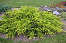 Ялівець середній Pfitzeriana Aurea 3 річний, Можжевельник средний Пфитцериана Ауреа, Juniperus media, фото 2