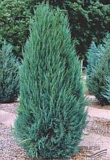 Ялівець скельний Blue Arrow 4 річний 65-75cм, Можжевельник скальный Блю Арроу, Juniperus scopulorum Blue Arrow, фото 2