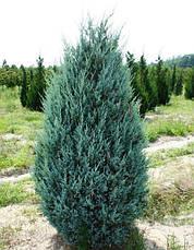 Ялівець скельний Moonglow 3 річний, Можжевельник скальный Мунглоу, Juniperus scopulorum Moonglow, фото 2
