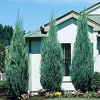 Ялівець скельний Skyrocket 3 річний, Можжевельник скальный Скайрокет, Juniperus scopulorum Skyrocket