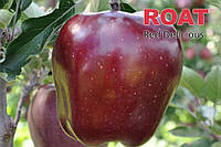 Саженцы яблони KING ROAT RED DELICIOUS (Польша)