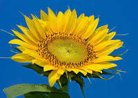 Семена подсолнечника НС-Х-496 (Элит) Нови Сад (Сербия) устойчив к Гранстару трибенурон-метил