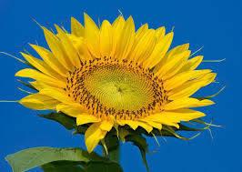 Насіння соняшника НС-Х-496 (стандарт) Нові Сад (Сербія) стійкий до Гранстар трибенурон-метил, фото 2