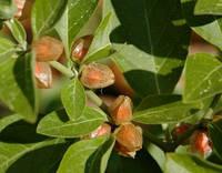АШВАГАНДХА или ИНДИЙСКИЙ ЖЕНЬ-ШЕНЬ (Withania somnifera, Solanaceae), фото 1