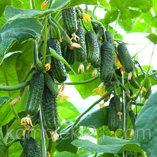 Семена огурца Эколь F1 (500 шт) самоопыляемый Syngenta