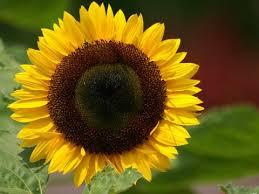Насіння соняшнику Прийми Євро-Лайтнінг Clearfield (Еліта) Нові Сад (Сербія)