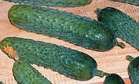 Семена огурца Меренга (250 шт) самоопыляемый Seminis