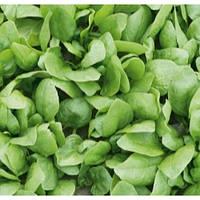 Семена шпината Рембрандт F1 / Rembrandt F1 5000 семян Bejo