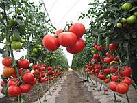 Семена томат Аксай F1 500 семян Nunhems