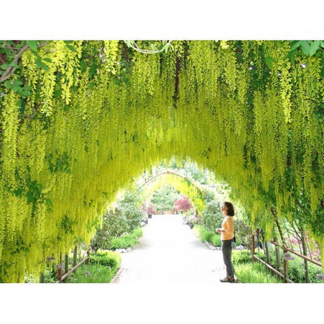Лабурнум Альпійський / Золотий дощ 3 річний 1м , Золотой дождь / Бобовник альпийский, Laburnum alpinum, фото 2