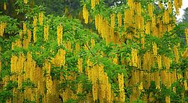 Лабурнум Альпійський / Золотий дощ 2 річний, Золотой дождь альпийский / Бобовник альпийский, Laburnum alpinum, фото 2