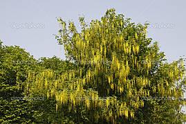 Лабурнум Альпійський / Золотий дощ 3 річний 1м , Золотой дождь / Бобовник альпийский, Laburnum alpinum, фото 3