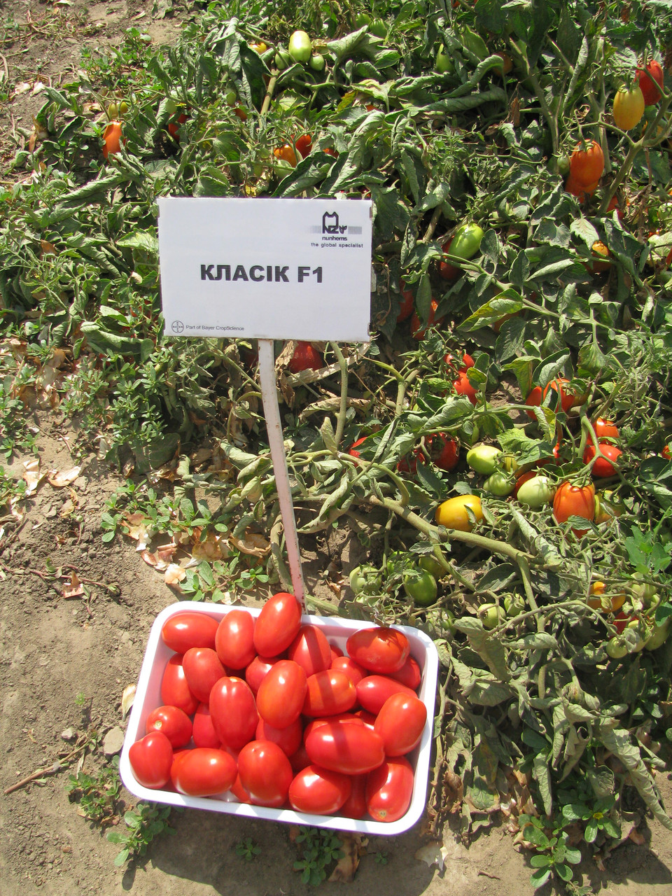 Семена томата Классик F1 1000 семян Nunhems