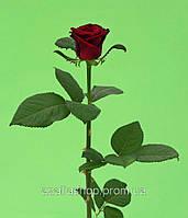 Роза 80см Гранпри