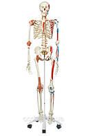 Специальная модель скелета человека 'Сэм', фото 1