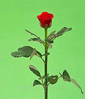 Роза 60см ЭльТоро