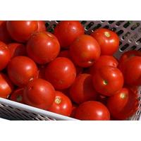 Семена томата Шаста F1 (1000 с) ультраранний низкорослый, фото 1