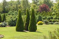 Купить декоративные хвойные растения – деревья и кустарники
