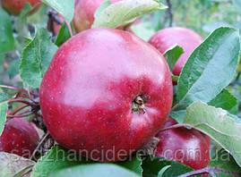 Саджанці яблунь Антей