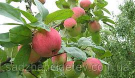 Саджанці яблунь Аскольда
