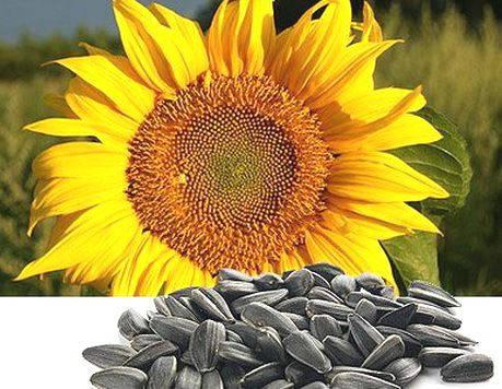 Семена подсолнечника Янина (фракция стандарт) Нови Сад (Сербия), фото 2