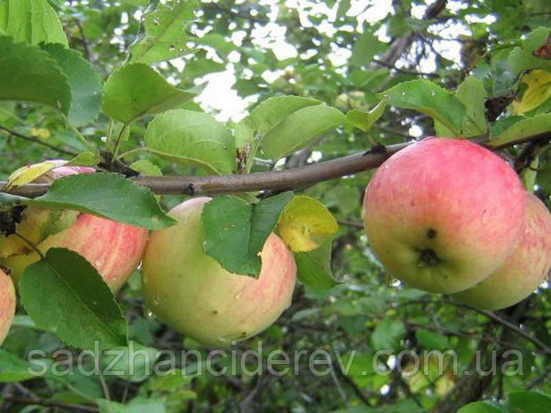 Саджанці яблунь Бистриця