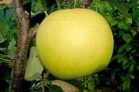 Саджанці яблунь Богемія Голд