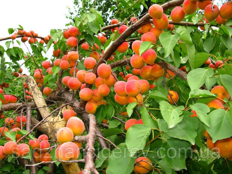 Саджанці абрикоса Красень Києва