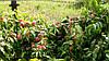 Саджанці персика Гібрид-F