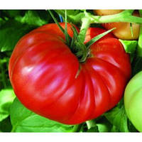 Семена томата Ричиоло F1 (1000 шт) United Genetics