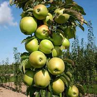 Саджанці колоновидних яблунь Болеро ( КВ-101)