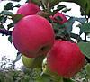 Саджанці яблунь Дельбар Жубіле
