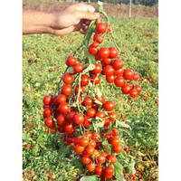Семена томата Стромболино F1 (10 000 шт) United Genetics