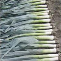 Семена лука порея Джампер F1 10000 семян