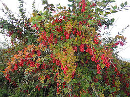 Барбарис звичайний їстівний 3 річний, Барбарис обыкновенный съедобный, Berberis vulgaris, фото 2