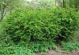 Барбарис звичайний їстівний 3 річний, Барбарис обыкновенный съедобный, Berberis vulgaris, фото 3