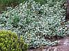 Бересклет Форчуна Emerald Gaiety 3 річний, Бересклет Форчуна Эмеральд Гаети, Euonymus fortunei Emerald Gaiety.