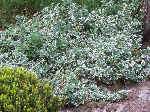 Бересклет Форчуна Emerald Gaiety 3 річний, Бересклет Форчуна Эмеральд Гаети, Euonymus fortunei Emerald Gaiety., фото 2