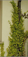 Бересклет Форчуна Emerald 'n' Gold 3 річний, Бересклет Форчуна Эмераль энд Голд, Euonymus Emerald 'n' Gold, фото 3