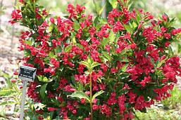 Вейгела квітуча Red Prince 4 річна, Вейгела цветущая Ред Принц, Weigela florida Red Prince, фото 2