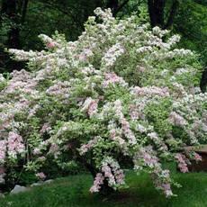Вейгела квітуча Splendid 2 річна, Вейгела цветущая Сплендид, Weigela florida Splendid, фото 2