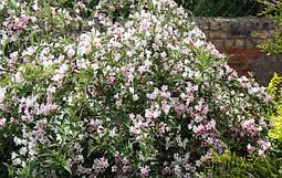 Вейгела квітуча Splendid 2 річна, Вейгела цветущая Сплендид, Weigela florida Splendid, фото 3
