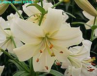 Лилия тетраплоидная Pearl White Белая Жемчужина