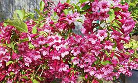 Вейгела квітуча Rumba 3 річна, Вейгела цветущая Румба, Weigela florida Rumba, фото 3