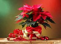 Пуансеттия: Как купить и сохранить рождественскую звезду