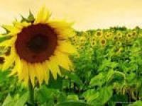 Українське сонечко насіння соняшнику (extra), фото 1