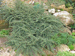 Кизильник горизонтальний 3 річний, Кизильник горизонтальный, Cotoneaster horizontalis, фото 2
